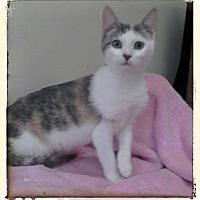 Domestic Shorthair Kitten for adoption in Trevose, Pennsylvania - Zion