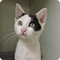 Domestic Shorthair Kitten for adoption in Massapequa, New York - Marlon