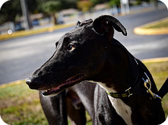 Greyhound Dog for adoption in Sarasota, Florida - Crazydixon