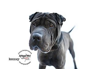 Shar Pei Mix Dog for adoption in Mira Loma, California - Kenny
