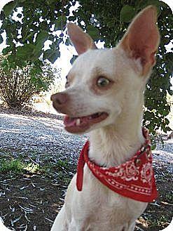 Chihuahua Dog for adoption in Elk Grove, California - PHANTASY