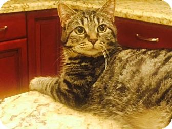 Domestic Shorthair Kitten for adoption in Glendale, Arizona - Sophie (Tabby)