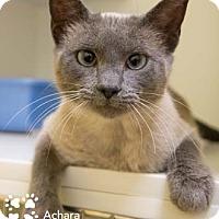 Adopt A Pet :: Achara - Merrifield, VA