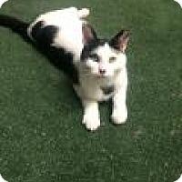 Adopt A Pet :: Lovey - Livonia, MI