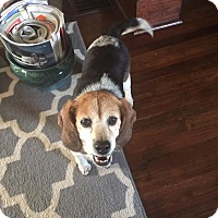 Beagle Mix Dog for adoption in Providence, Rhode Island - Paisley