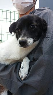 Terrier (Unknown Type, Small) Mix Puppy for adoption in Oakton, Virginia - Katie