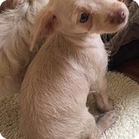 Adopt A Pet :: Puppies - Ocean Ridge, FL