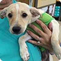 Adopt A Pet :: George - Schertz, TX