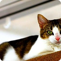 Domestic Shorthair Cat for adoption in Mesa, Arizona - jessey
