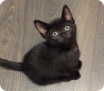 Domestic Shorthair Kitten for adoption in Thornhill, Ontario - Uhura