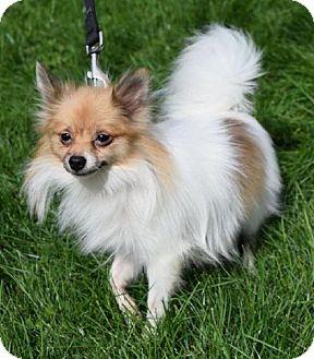 Pomeranian Dog for adoption in Valparaiso, Indiana - Lexi