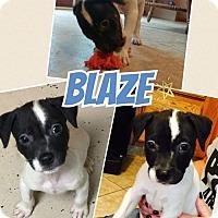 Adopt A Pet :: Blaze - Fenton, MO