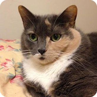 Domestic Mediumhair Cat for adoption in Balto, Maryland - Stella