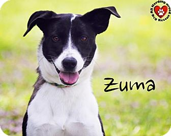 Border Collie Mix Dog for adoption in Joliet, Illinois - Zuma