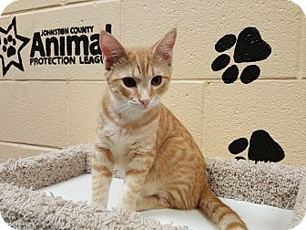 Domestic Shorthair Kitten for adoption in Smithfield, North Carolina - Kendal