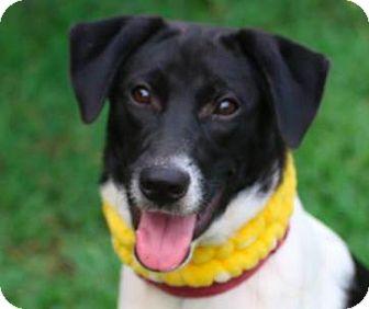 Collie/Terrier (Unknown Type, Medium) Mix Dog for adoption in San Ramon, California - Emily