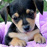 Adopt A Pet :: TINKERBELL(TINY DOXLE PUP!) - Wakefield, RI