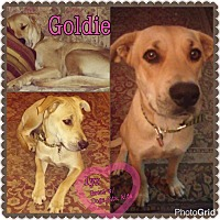 Adopt A Pet :: goldie - Homestead, FL