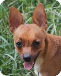 Chihuahua/Basenji Mix Dog for adoption in Freeport, Maine - Asher