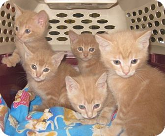 Maine Coon Kitten for adoption in Dallas, Texas - Cashew