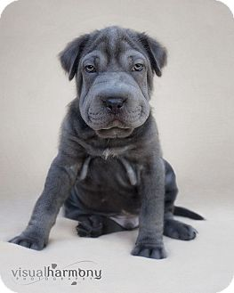 Shar Pei/Labrador Retriever Mix Puppy for adoption in Phoenix, Arizona - Hercules
