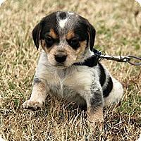 Adopt A Pet :: Jax - Staunton, VA
