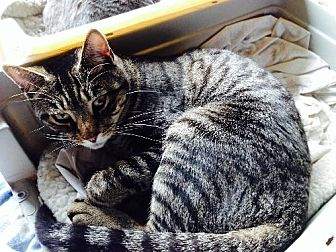 Domestic Mediumhair Cat for adoption in Staten Island, New York - Bobbi