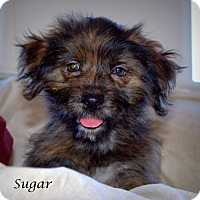 Adopt A Pet :: Sugar - Yuba City, CA