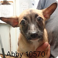 Adopt A Pet :: Abby - baltimore, MD
