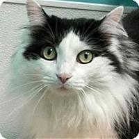 Adopt A Pet :: Chrissie Eve (Adoption fee sponsored) - Cary, NC