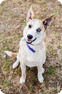 Australian Shepherd Mix Dog for adoption in Barnesville, Georgia - Jax