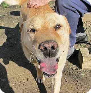 Shar Pei Mix Dog for adoption in Richmond, Virginia - Selma  -Courtesy Listing