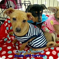 Adopt A Pet :: Clyde - Lacey, WA