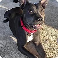 Adopt A Pet :: Lily - Arlington, VA