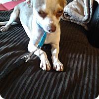 Adopt A Pet :: Chori - Las Vegas, NV