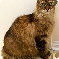 Adopt A Pet :: Amber (declawed) - Houston, TX