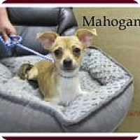 Adopt A Pet :: Mahogany - Shawnee Mission, KS