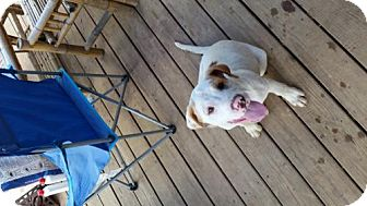 American Bulldog Puppy for adoption in Decatur, Alabama - Talon