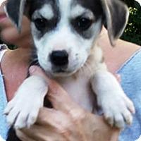 Adopt A Pet :: Aussiedors