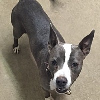 Basenji Mix Dog for adoption in Poland, Indiana - Addy