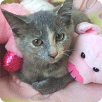 Domestic Shorthair Kitten for adoption in Waupaca, Wisconsin - Suzanna