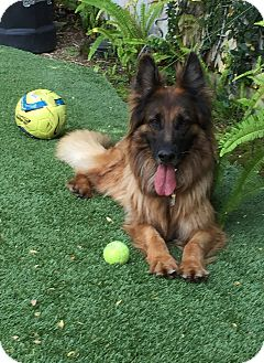 German Shepherd Dog Dog for adoption in Los Angeles, California - CATRINA