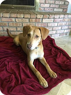 Labrador Retriever/Hound (Unknown Type) Mix Dog for adoption in Sterling Heights, Michigan - Sadie