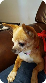 Chihuahua Mix Dog for adoption in San Antonio, Texas - Gertie