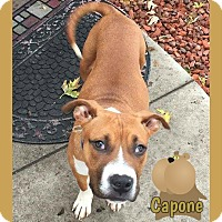 American Pit Bull Terrier Mix Puppy for adoption in Des Moines, Iowa - Capone