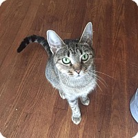 Adopt A Pet :: Cleo - Middlebury, CT