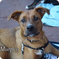 Boxer Mix Dog for adoption in Willingboro, New Jersey - Murphy
