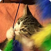 Domestic Mediumhair Kitten for adoption in Germantown, Maryland - Twinkle