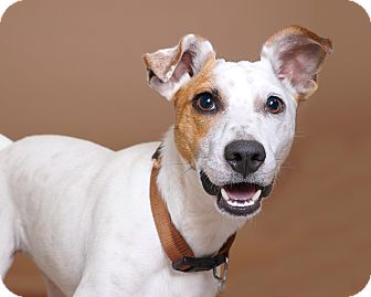 Smooth Fox Terrier Mix Dog for adoption in Sudbury, Massachusetts - Spuds