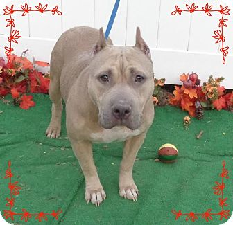 Staffordshire Bull Terrier Mix Dog for adoption in Marietta, Georgia - SASHA - also see DIAMOND